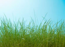 High green grass closeup on blue background Stock Photography