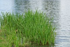 Green grass on the shore of the reservoir near the water. High green grass on the shore of the reservoir near the water Stock Photography