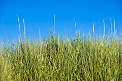 High green lush elastic stems grass on sky background Stock Image