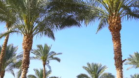 High Green Palm trees. On a bright sunny day stock video