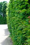 High green vegetative fence Royalty Free Stock Photo