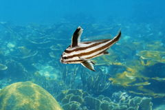 High hat fish in intermediate phase Caribbean sea Stock Images