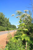 High hogweed. Near rural road stock images
