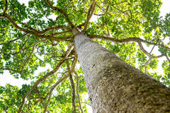 High huge tree Royalty Free Stock Images