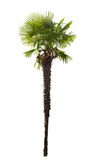 High isolated palm tree Stock Images