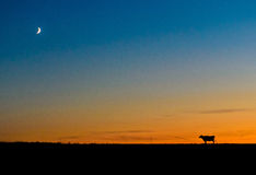 High Jump. A rural Wisconsin cow pondering a jump over the moon Royalty Free Stock Photography
