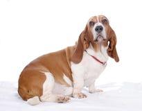High key Basset hound. Basset hound dog posing on a white background Stock Images