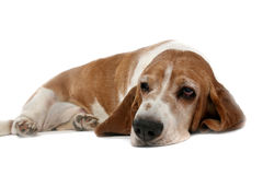 High key basset hound on it's stomach Stock Photos