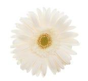 High key daisy Stock Photography