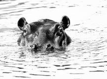 High Key Hippo. High Key black and white Hippo stock photography