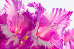 High key image of flower for background Royalty Free Stock Images