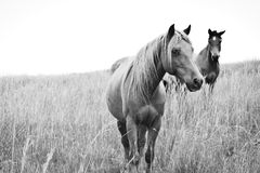 High Key Horses Royalty Free Stock Photo