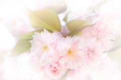 High key of japanese cherry tree blossoms Stock Photo