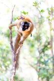 High key lemur Royalty Free Stock Images