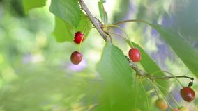 High key, light and airy footage of cherries on tree with fruit and leaves gently blowing in the wind, with soft focus pastel aspe stock video