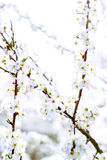 High key picture of white blooming trees in spring Stock Image