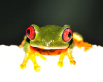 High key red eye frog 1 Royalty Free Stock Photos