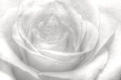 High key rose. Nice high key white rose Stock Photography