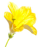High Key Salpiglossis. A macro shot of a salpiglossis bloom against a white background royalty free stock photos