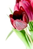 High Key Tulips Royalty Free Stock Photos