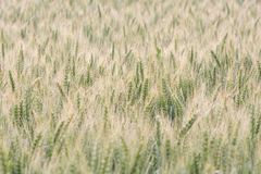 High key wheat field bathing in sunlight Stock Image