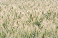 High key wheat field bathing in sunlight Stock Image