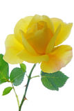 High Key Yellow Rose Stock Images