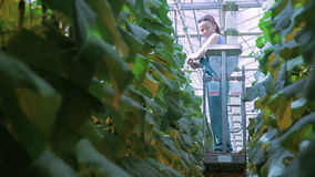 On a high ladder to the ceiling greenhouses working woman. stock video