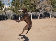 High leaping frisbee dog. Stock Images