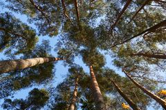 High Lithuanian forest pine. royalty free stock image