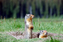 High and low. Two canadian ground squirrels at Manning provincial park, British columbia,canada Stock Photos