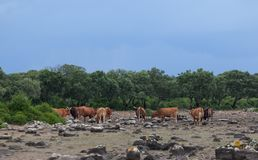High-lying area of Giara di Gesturi with some cows in a stormy day - Sardinia - Italy.  stock photos