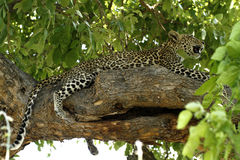 High & Mighty Leopard Royalty Free Stock Images