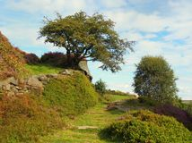 High moorland grass path in yorkshire with heather. High moorland greass path in yorkshire with heather on a rocky outcrop single tree and bush royalty free stock photography
