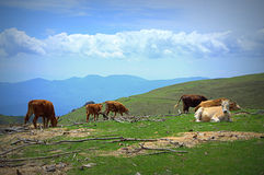 High mountain cows Stock Images