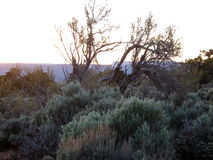 High Mountain Desert Tree. Gnarly tree with mountain backdrop silhouetted in the sunset Royalty Free Stock Photography