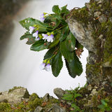 High mountain flower silivriak blossoms Stock Photo
