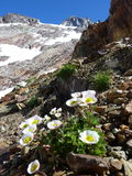 High Mountain Flowers Royalty Free Stock Photo