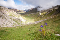 High mountain flowers. Flowers in Echo's Valley, Spanish Pyrenees Stock Photos