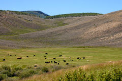 High Mountain Meadow full of Cows Stock Image