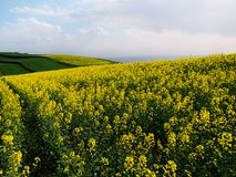 High mountain rape flower Stock Photography