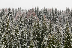 High mountain snowy spruce forest Royalty Free Stock Photos