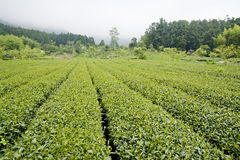 High mountain tea  farm Stock Image