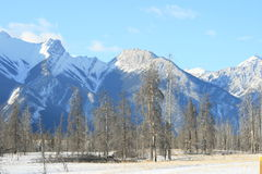 High mountains and dead forest, canada. Jasper national park, alberta, canada, mountain range in snow, below dying forest Royalty Free Stock Images