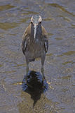 High Noon. A juvenile Black-crowned Night Heron (Nycticorax nycticoras) standing on its own shadow in a creek at high noon Royalty Free Stock Photos