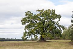 High Oak, Close-up Royalty Free Stock Photography