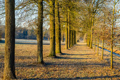 High oak trees with straight trunks in two rows Stock Image