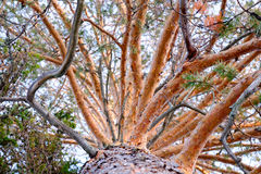 High old pine trunk Royalty Free Stock Photos