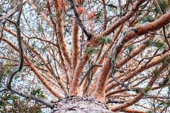 High old pine trunk Stock Images