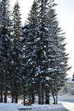 High old spruce tree in the snow in the snow. High old spruce tree in the snow Stock Image